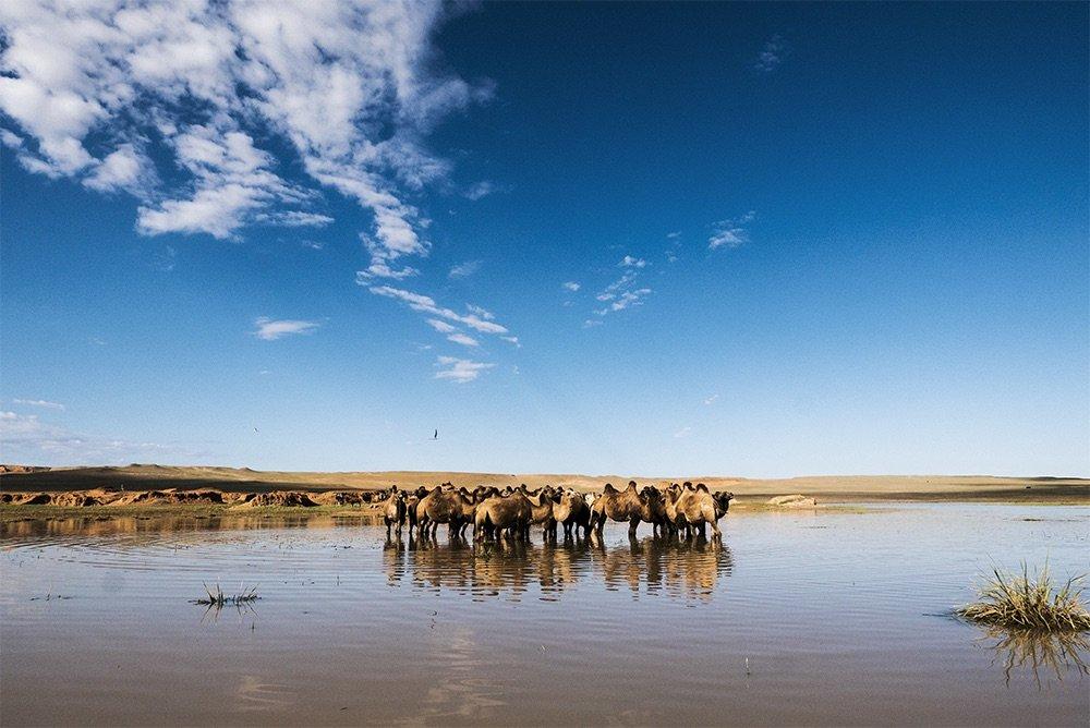 gobi_camels